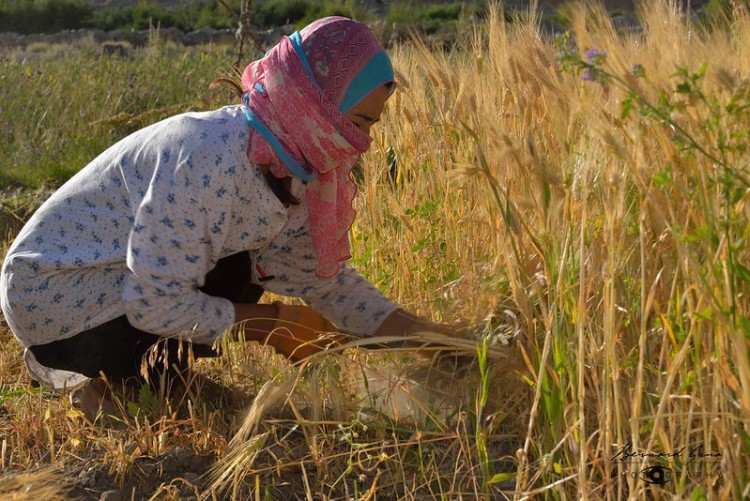 Chapursan Valley Travel Guide, Lost with purpose, Alex Reynolds. Afta, wife of Dilawar Abbas, harvesting barley. She is from Shimshal, another valley in Wakhi, which is a rough and dangerous 3 hour drive from Passu. Afta is a teacher at school in the morning.